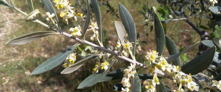 La vie d'une olive de Nyons (2)